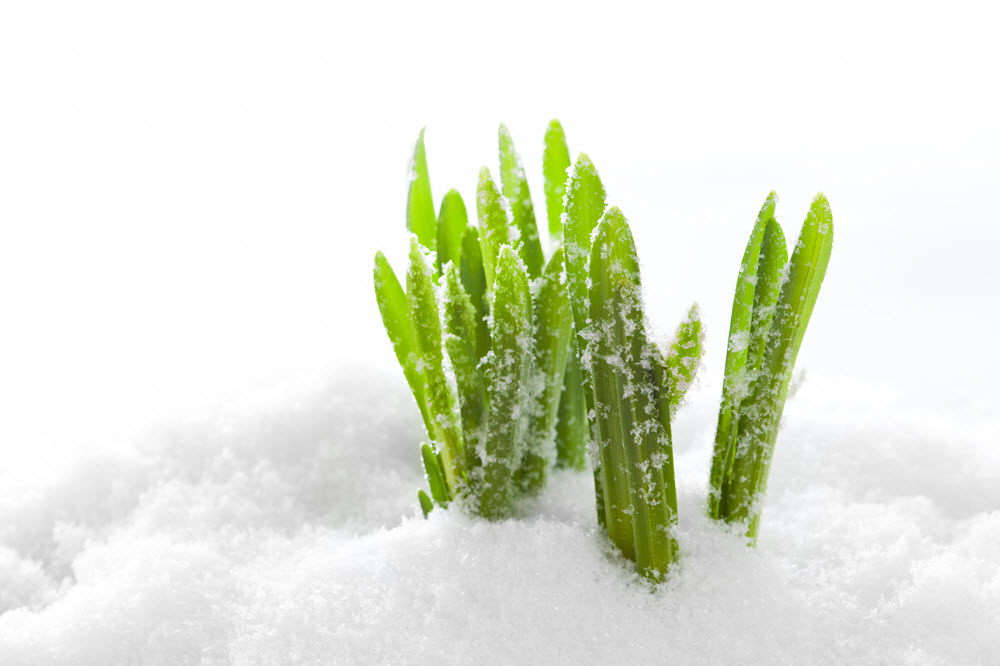 Design for Conscious Living 18.04.01 grass in snow FREEPIK @bedneyimages