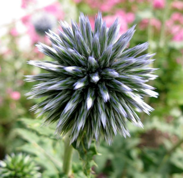 Design for Conscious Living 19.05.01 Globe Thistle by Jeremy McCormack