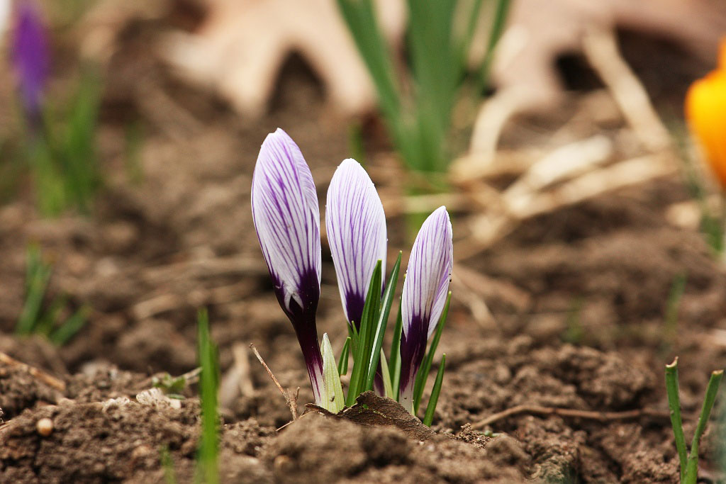 Design for Conscious Living - The March Garden - Monthly Gardening Advice for Newly Planted Garden Beds - Crocus Photographed by Nicu Buculei