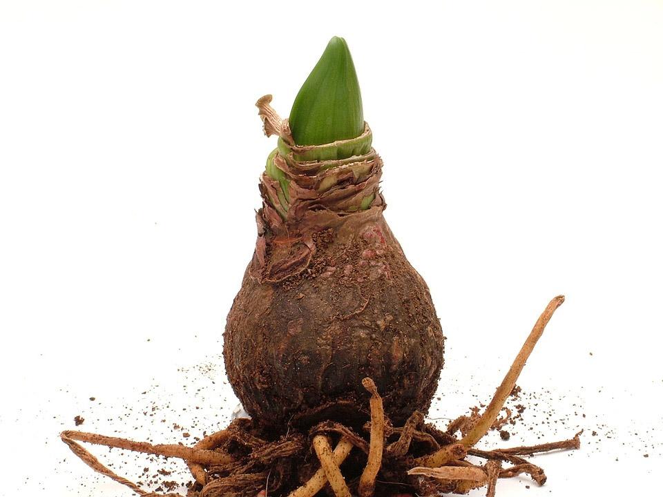 Design for Conscious Living - Fall Garden Checklist - Amaryllis