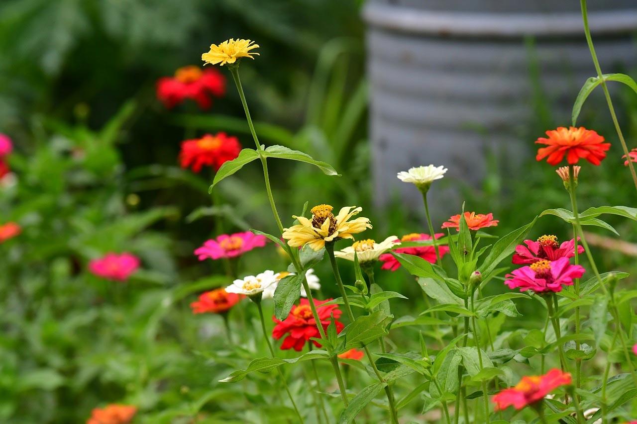 Design for Conscious Living - Fall Garden Checklist - Annual Flowers - Zinnias