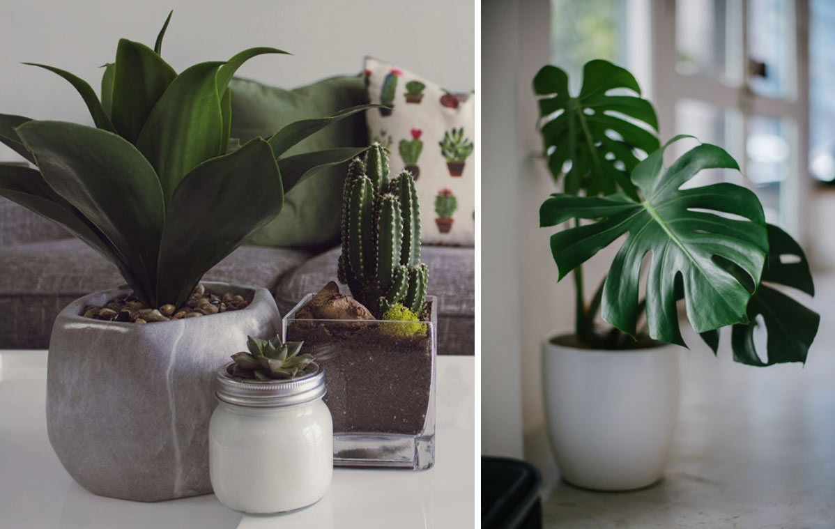 Two images side by side, the left image is a group of three houseplants and the right side is a single large house plant.