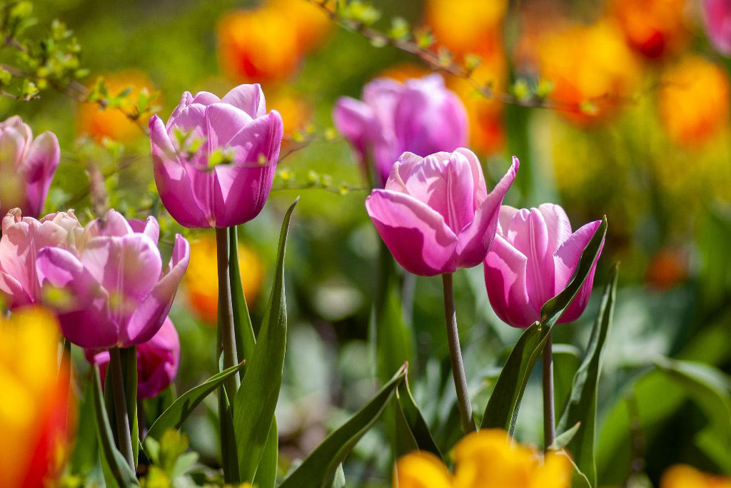 Cluster of pink tulips.