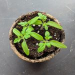 The Holland Housch | How to Care for Indoor Seedlings After Germination