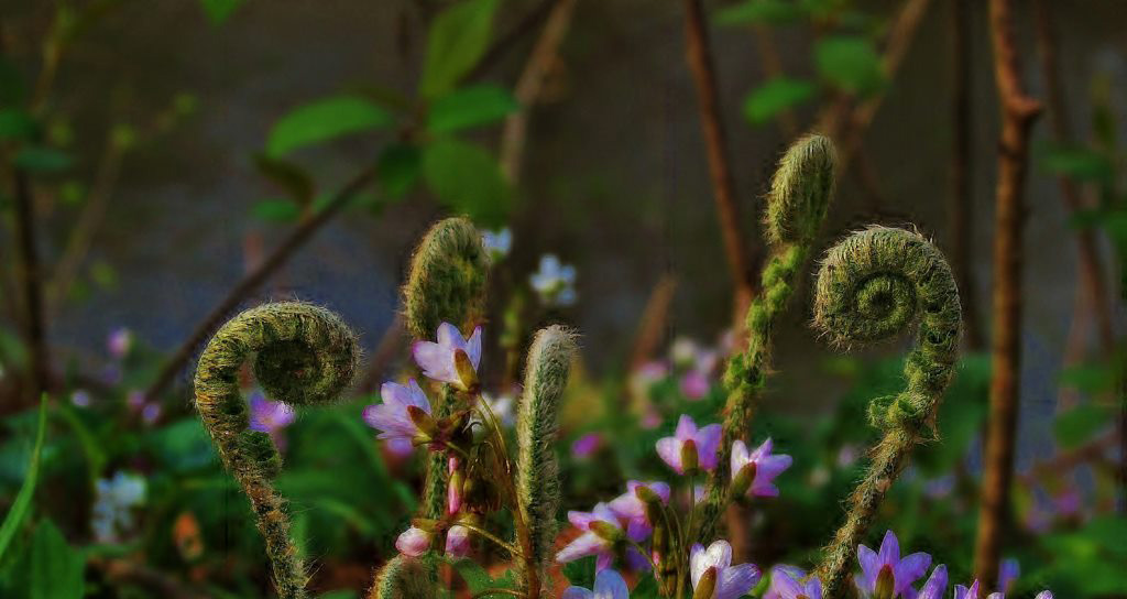 Fiddleheads and small pink flowers are signs of spring in this garden photo.