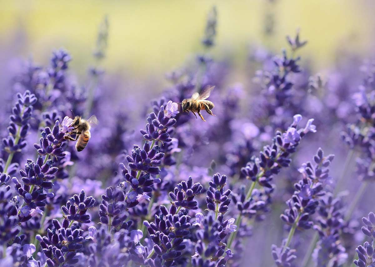 Two honey bees extracting pollen from lavender flowers.