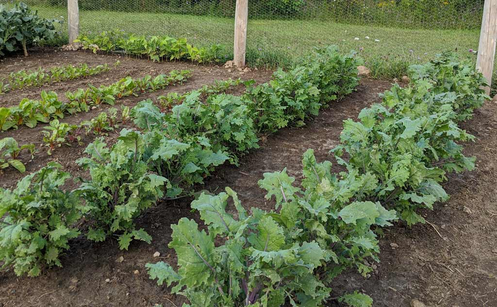 Two rows of kale in the vegetable garden with smaller leaves.