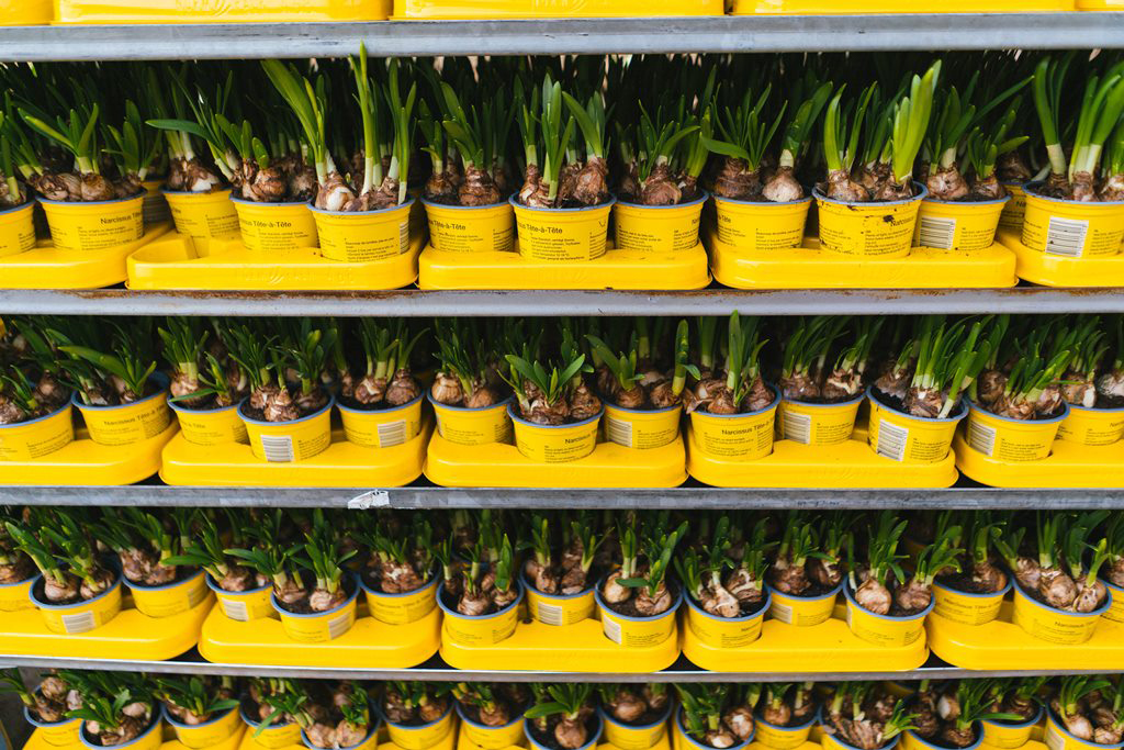 A very colourful shot of yellow pots filled with bulbs and lined up on store shelving.
