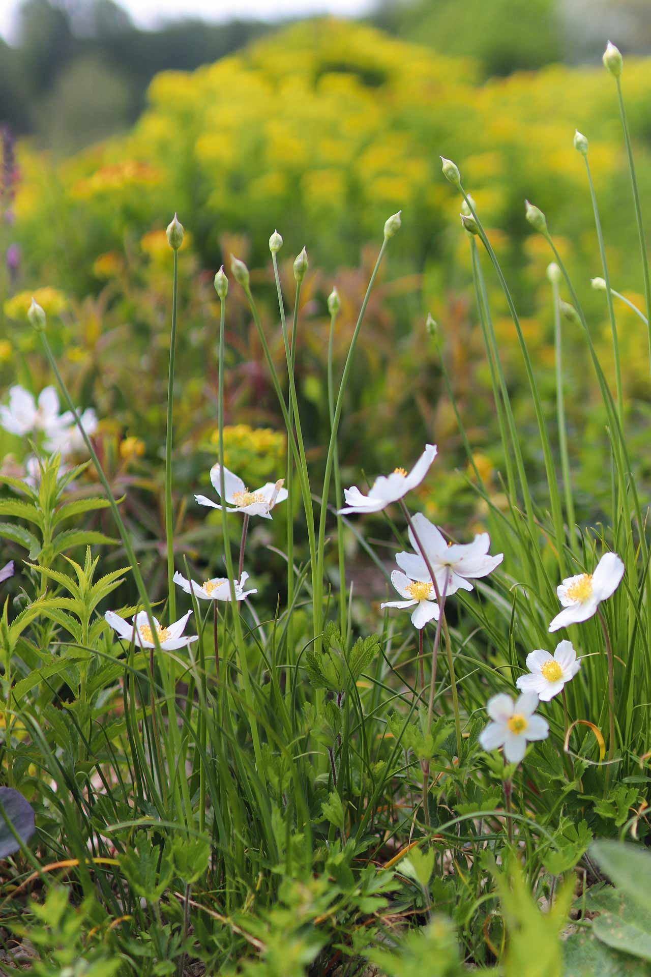 A beautiful photo of white anemones in the foreground and a blurred field in the background.
