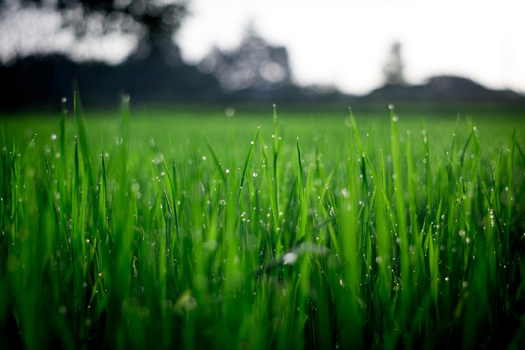 A close up photo of grass with a field of grass in a blurred background.