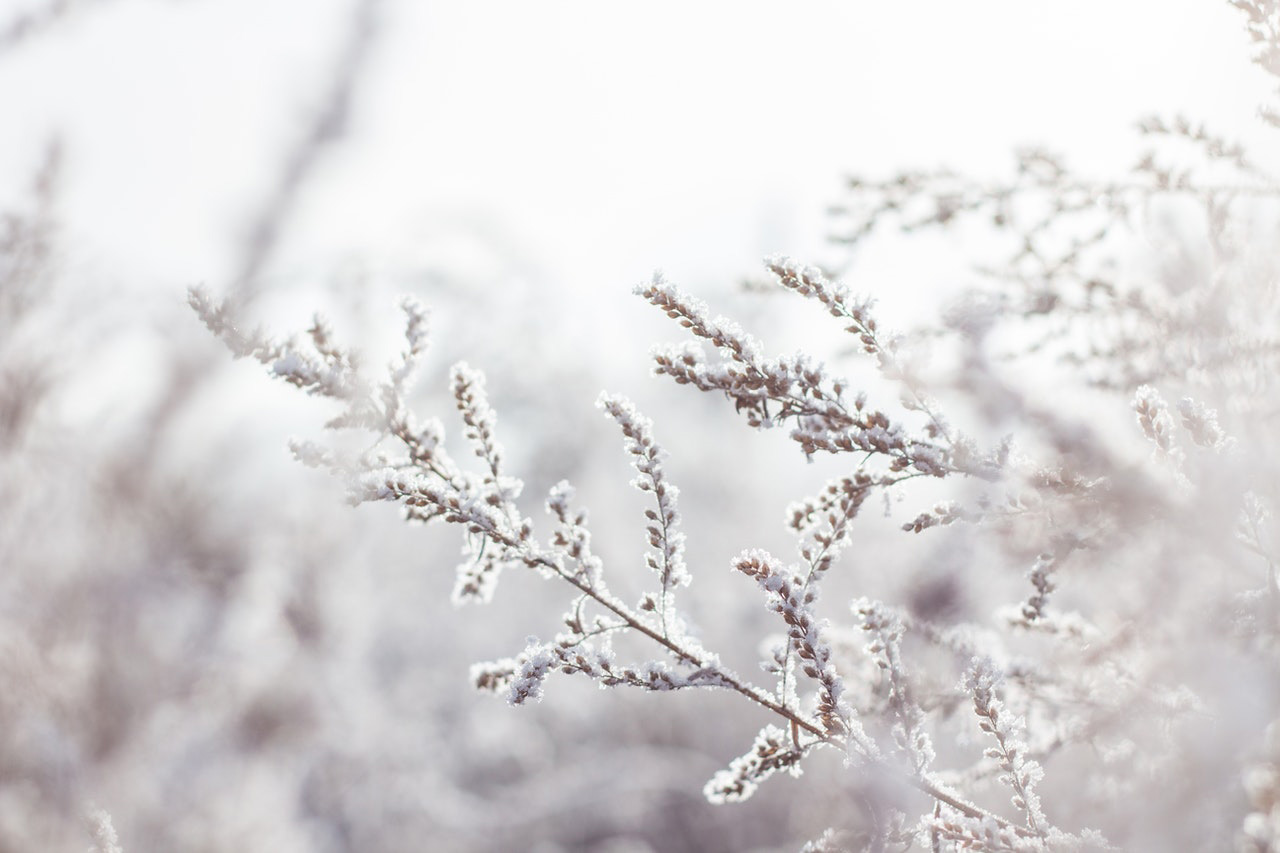 A plant with stems and seeds covered in a thin dusting of snow set in front of a foggy, out of focus, white background.