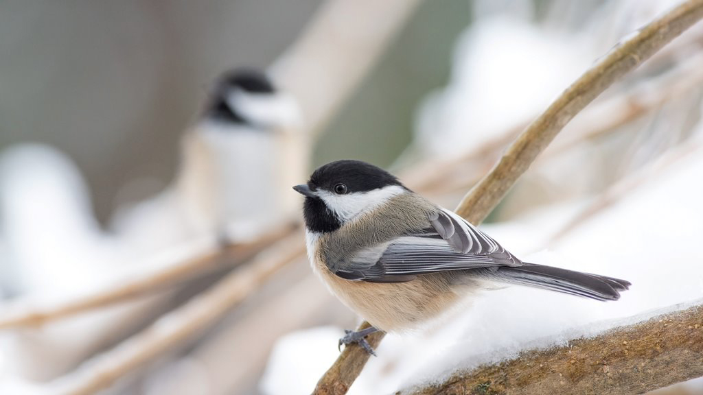 A beautiful black, white, gray, and tan coloured chickadee resting on a snow covered branch.